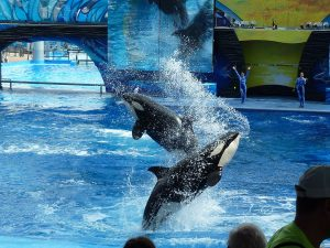 Killer whales doing tricks